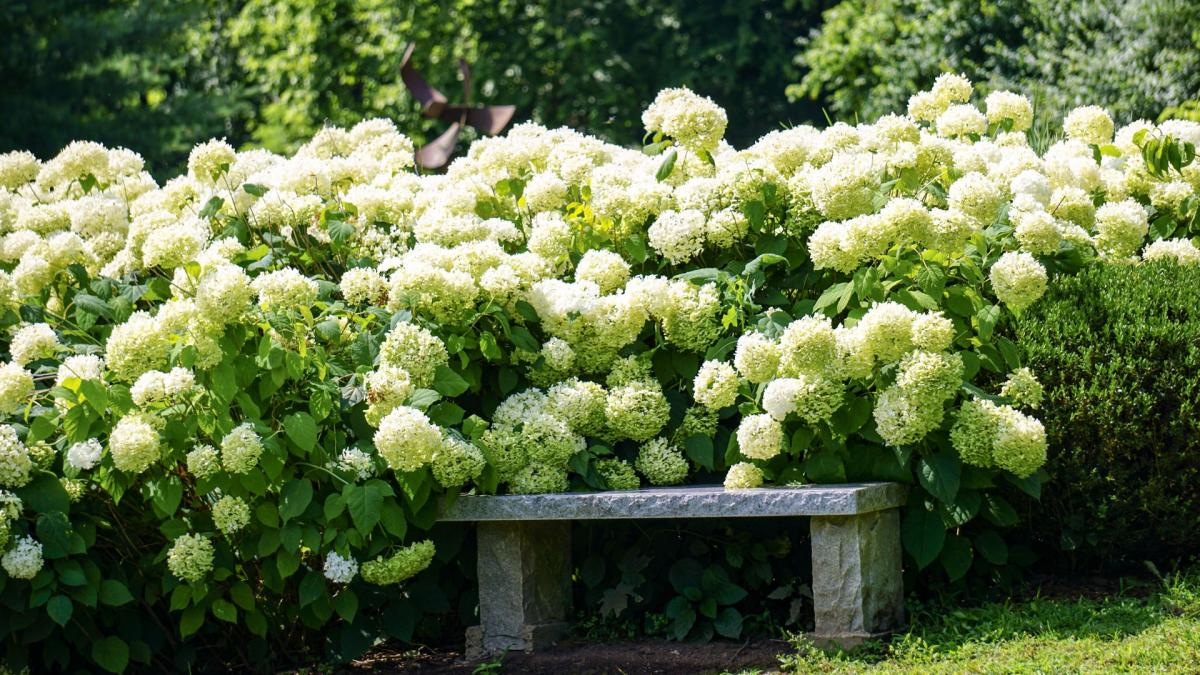 latest het planten van de hydrangea arborescens annabelle. Black Bedroom Furniture Sets. Home Design Ideas